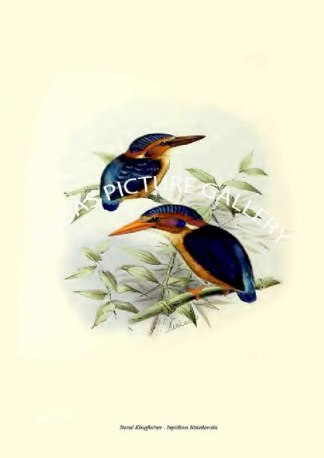 Fine art print of the Natal Kingfisher - Ispidina Natalensis by  the artist Johannes Gerardus Keulemans (1868-1871)